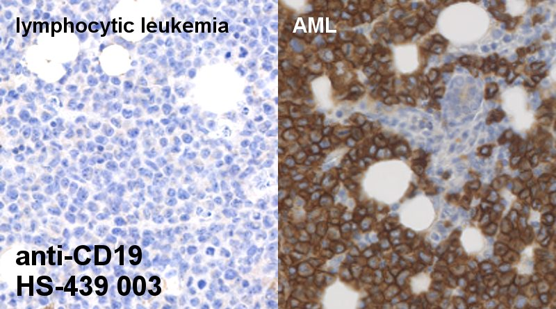 mouse specific CD19 antibody