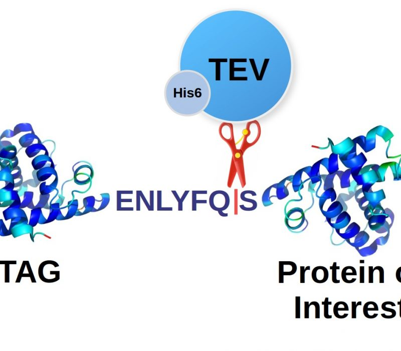 Recombinant TEV Protease Protein His6